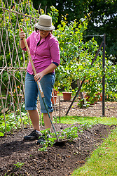 Earthing up potatoes with a rake.