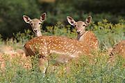 female Fallow Deer (Dama dama) Israel,