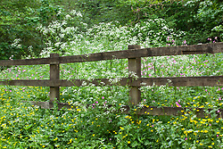 Patch of wild flowers by a roadside fence. Red Campion, Cow Parsley and Buttercups. Silene dioica, Anthriscus sylvestris, Ranunculus