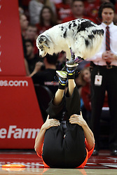 17 January 2015:    Elektra Blu and Tony Hoard of the K9 Disc Dog Crew performs at half time during an NCAA MVC (Missouri Valley Conference men's basketball game between the Bradley Braves and the Illinois State Redbirds at Redbird Arena in Normal Illinois