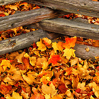 """""""Crossing the Maples""""<br /> <br /> Come alive with this beautiful intimate autumn image! Golden, yellow, orange and red Maple leaves cover the ground,and are nestled up against a beautiful crossed wooden fence!!<br /> <br /> Fall Foliage by Rachel Cohen"""
