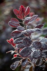 Dew on the foliage of Cotinus coggygria syn. Rhus cotinus - Smoke bush, European smoketree, Venetian sumach, Dyer's sumach