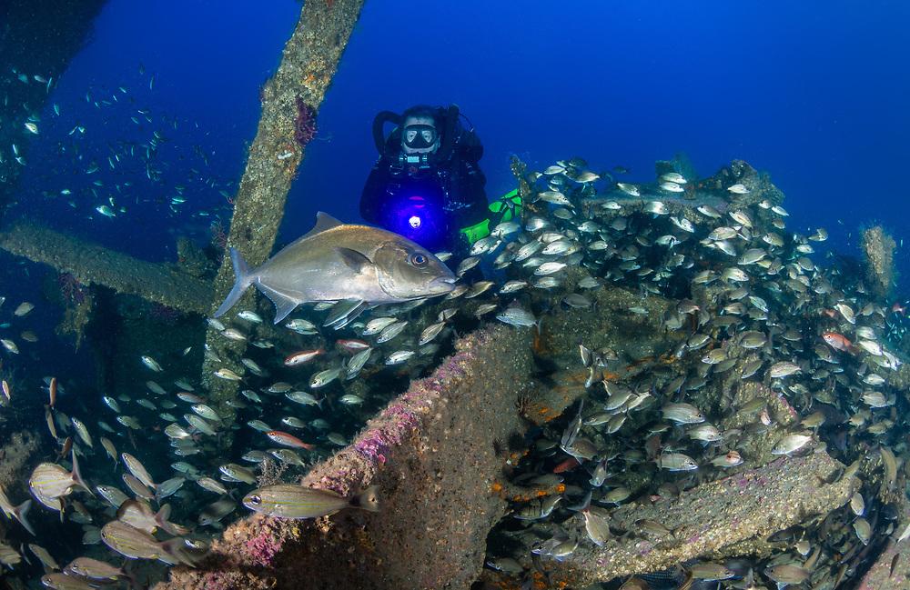 Greater Amber Jack on USCGC Spar Shipwreck in North Carolina, USA