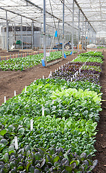 The salad leaf trials at CN seeds
