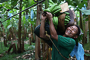 Gavino Barrera, Ngäbe member of COOBANA, hangs a recently harvested banana cluster on a rail that leads to the processing plant. COOBANA, Finca 51, Changuinola, Bocas del Toro, Panamá. September 3, 2012.