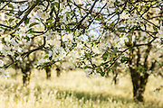 Sebastopol, California apple orchards are being replaced by vineyards