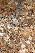 Domaine de Nidoleres. Roussillon. Syrah grape vine variety. In the area called Les Alberes. Terroir soil. France. Europe. Vineyard.
