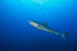tiger shark, Galeocerdo cuvier, West End, Bahamas, Caribbean, Atlantic Ocean