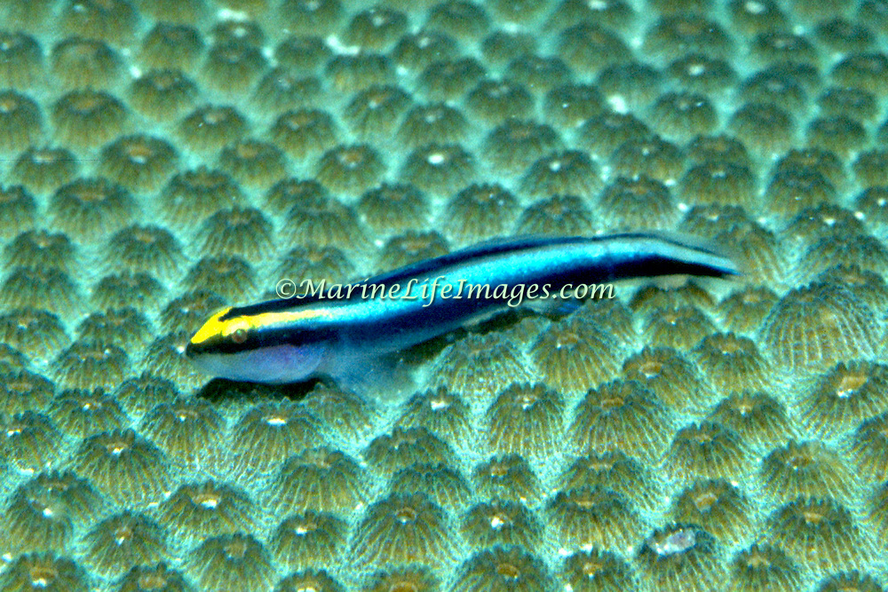 Sharknose Goby a cleaner fish, perch on cleaner station coral heads in Tropical West Atlantic; picture taken Bahamas.