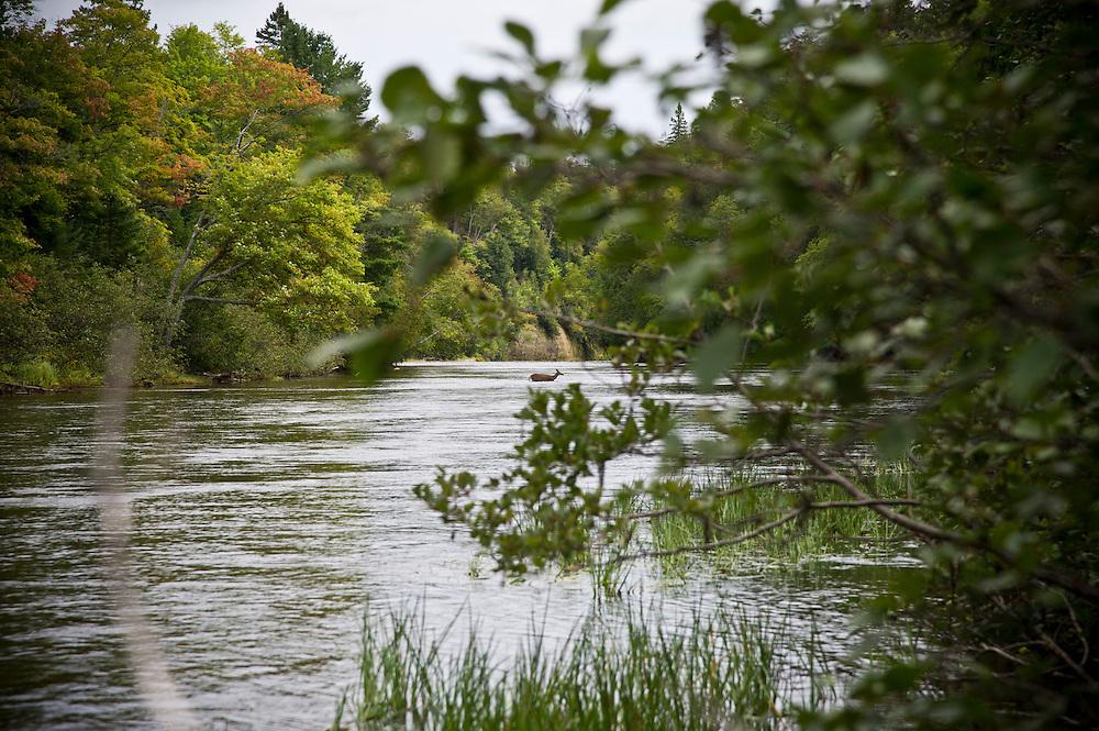A deer crosses the Tahquamenon River above the Upper Falls near Newberry Michigan.