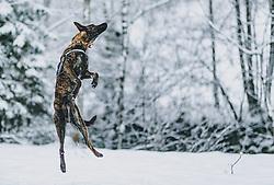 THEMENBILD - ein Hund springt in einer winterlichen Landschaft in die Luft, aufgenommen am 29. Jänner 2020 in Kaprun, Oesterreich // a dog jumps into the air in a wintry landscape, in Kaprun, Austria on 2020/01/29. EXPA Pictures © 2020, PhotoCredit: EXPA/Stefanie Oberhauser