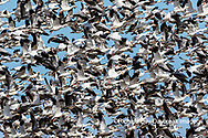 00754-02918 Snow Geese (Anser caerulescens) large flock in flight Marion Co. IL