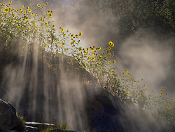 United States, Idaho, Lowman, wild sunflowers (Helianthus annuus), sunbeams and steam rising from Pine Flats Hot Spring at dawn