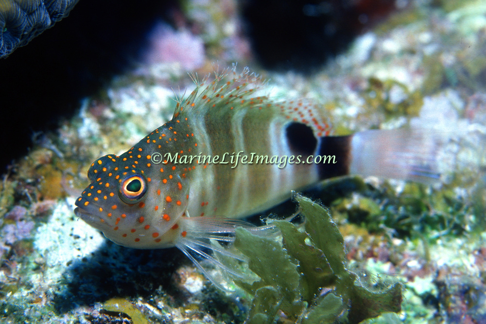 Redspotted Hawkfish inhabit reefs perching on the bottom in Tropical West Alantic; picture taken Gramd Cayman.