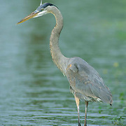 Great Blue Heron (Ardea herodias).  A  portrait of the  bird standing in a freshwater pond.