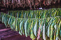 Tobacco leaves hanging to dry, tobacco farm, Cuba, fine art photography prints