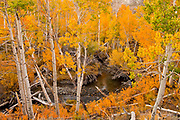 Aspen and Wild Rose along McGee Creek, Inyo National Forest, Mono County, Caifornia
