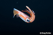 hooked squid, Onychoteuthis sp., in surface waters of the deep open ocean at night, Kona, Hawaii, USA ( Central Pacific Ocean )