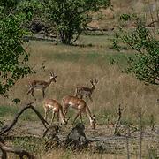 20211003 Maun Botswana <br /> Moremi nationalpark Okavangodeltat<br /> Impala antiloper<br /> <br /> <br /> ----<br /> FOTO : JOACHIM NYWALL KOD 0708840825_1<br /> COPYRIGHT JOACHIM NYWALL<br /> <br /> ***BETALBILD***<br /> Redovisas till <br /> NYWALL MEDIA AB<br /> Strandgatan 30<br /> 461 31 Trollhättan<br /> Prislista enl BLF , om inget annat avtalas.
