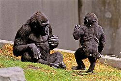 Gorilla & Baby, Franklin Park Zoo