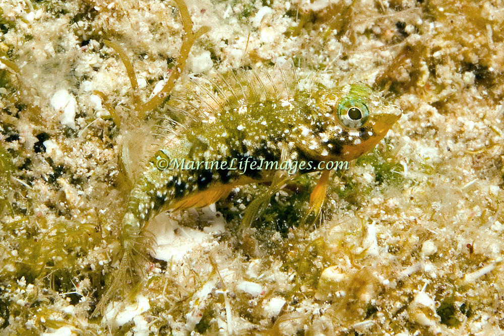 Imitator Blenny inhabit shallow areas of broken coral and rubble with abundant clumps of algae in the Bahamas and Caribbean; picture taken Little Cayman.