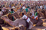 Camels and competitors waiting for the start of the Kings Camel race at Jinayderiah, Saudi Arabia