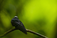 White-crowned Manakin (Dixiphia pipra).male at a calling perch in his territory.stretching his wing...Tiputini Biodiversity Station, Amazon Rain Forest, Ecuador.