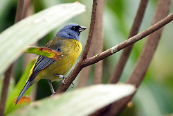 05 June 2005 <br /> <br /> Blue-Yellow Tanager<br /> <br /> Miller Park Zoo, Bloomington, Il (Photo by Alan Look)