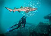 Sand tiger shark and a scuba diver on Caribsea Shipwreck  in North Carolina, USA