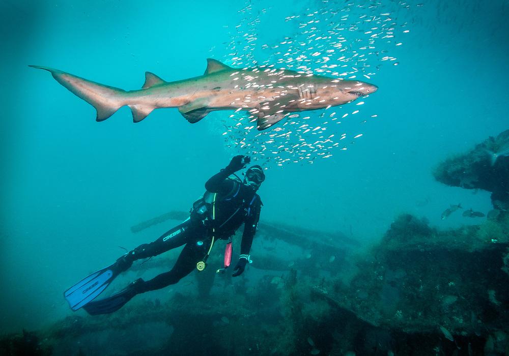 Sand tiger shark,  Caribsea Shipwreck