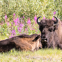 Buffalo cow and calf rest during midday, alongside Alaska Highway in northern British Columbia, Canada