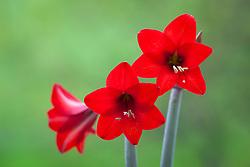 Amaryllis 'Red Rascal' - Sonatini variety. Hippeastrum