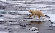 Polar bearand melting ice  at 82 degrees north off Svalbard, Norway.