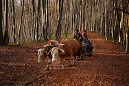 Rural Romanian men returning home after logging in the forest. Rural Transylvania