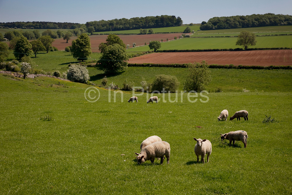 Sheep and lambs feeding on the luscious grass in fields near to Toddington in The Cotswolds, Gloucestershire, UK.  This area is famed for it's local lamb. Popular with both the English themselves and international visitors from all over the world, the area is well known for gentle hillsides 'wolds', outstanding countryside, sleepy ancient limestone villages, historic market towns and for being so 'typically English' where time has stood still for over 300 years. Throughout the Cotswolds stone features in buildings and stone walls act as a common thread in seamlessly blending the historic towns & villages with their surrounding landscape. One of the most 'quintessentially English' and unspoiled regions of England.