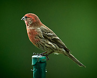 House Finch Image taken with a Nikon D5 camera and 600 mm f/4 VR lens.