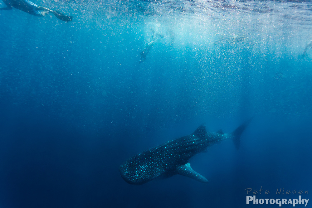 Snorkelers swim above as whale shark, Rhincodon typus, descends into blue ocean