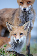 The bound between this vixen and her cub is strong. Their is lots of grooming and affection when there together.