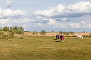 30-04-2020: Spanga, Weststellingwerf - Paarden met dek