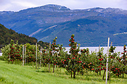 Growing apples in beautiful Hardanger. Photo from Ullensvang (Vestland county), Norway in September.