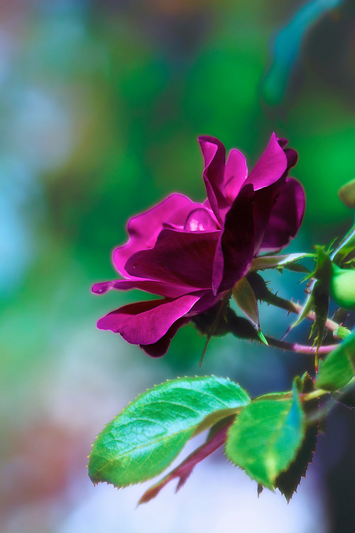 A Soft Blooming Fuchsia Colored Rose from The Garden