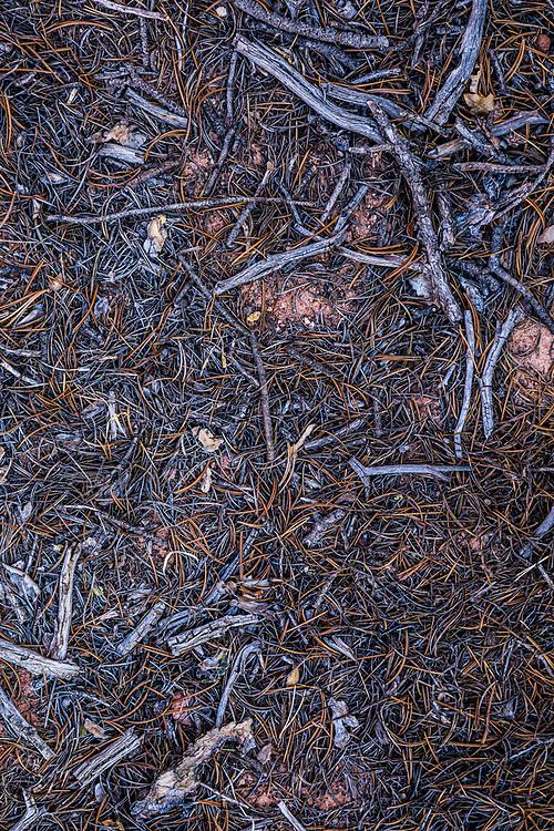 Pinion Pine needles closeup. Utah.