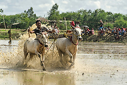 June 29, 2017 - Kolkata, west bengal, india - West Bengal, India : Cattle race organized by farmers of south 24-pargana district of West bengal, India during beginning of monsoon. Farmers along with their cattles come to participate the game. It .happens before reaping kharif seed of monsoon. Bascially it is a monsoon special game. (Credit Image: © Debsuddha Banerjee via ZUMA Wire)