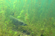 Northern Pike<br /> <br /> Engbretson Underwater Photography