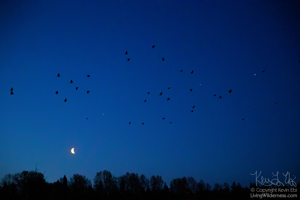 A murder of American crows flies over a forested area of Bothell, Washington, as a crescent moon and the planets Mars, Saturn and Jupiter are visible in the sky. Mars is visible to the upper-right of the moon. Saturn and Jupiter appear among the crows on the right side of the image. Bothell is home to a large crow roost, used by as many as 16,000 crows during the winter months. The conjunction of the moon, Mars, Saturn and Jupiter was visible on April 16, 2020.
