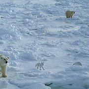 Polar Bear, (Ursus maritimus) Adult and arctic fox on the frozen shores of Churchill, Manitoba. Canada.