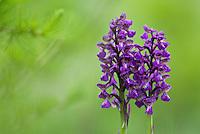 March-orchid, (Dactylorhiza cordigera), Durmitor National Park, Montenegro