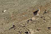 Ladakh urial, ovis vignei vignei, standing on rocky slope in Ladakh.
