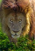 Male lion menacing