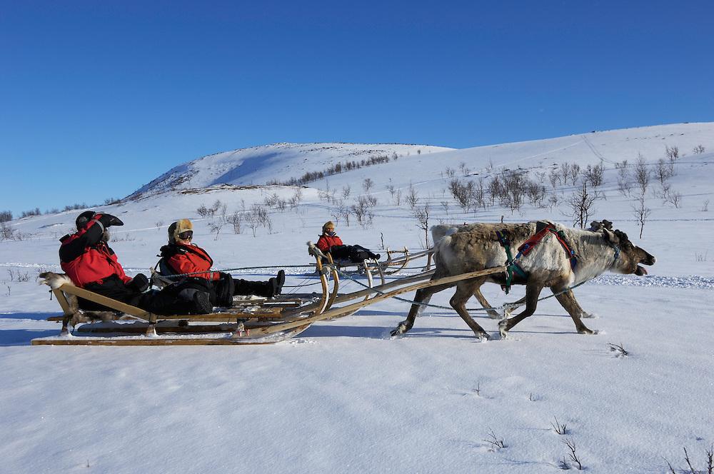 Reindeer (Rangifer tarandus), Övre Soppero, Lapland, Norrbotten, Sweden. Sledding safari tour.